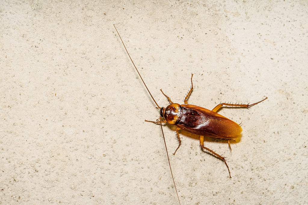 Cockroach Control, Pest Control in Mayfair, Marylebone, W1. Call Now 020 8166 9746