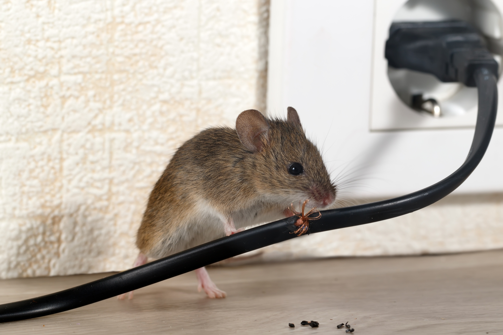 Mice Infestation, Pest Control in Mayfair, Marylebone, W1. Call Now 020 8166 9746