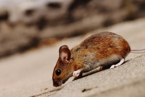 Mice Exterminator, Pest Control in Mayfair, Marylebone, W1. Call Now 020 8166 9746